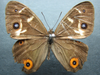 Adult Male Upper of Varied Sword-grass Brown - Tisiphone abeona joanna