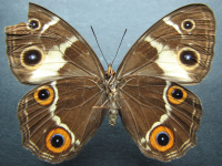 Adult Female Under of Varied Sword-grass Brown - Tisiphone abeona joanna