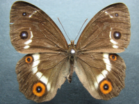 Tisiphone abeona morrisi - Adult