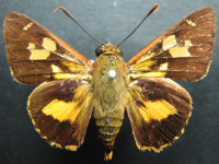 Adult Male Upper of Splendid Ochre - Trapezites symmomus symmomus