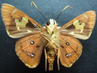 Adult Male Under of Splendid Ochre - Trapezites symmomus symmomus