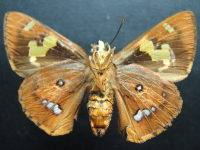 Adult Female Under of Splendid Ochre - Trapezites symmomus symmomus
