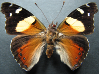 Adult Male Upper of Yellow Admiral - Vanessa itea