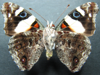 Adult Male Under of Yellow Admiral - Vanessa itea