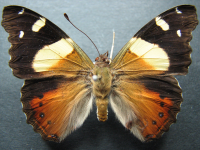 Adult Female Upper of Yellow Admiral - Vanessa itea