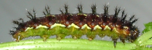 Final Larvae Side of Yellow Admiral - Vanessa itea